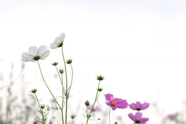 Foco selectivo suave hermoso del campo de flores rosado y blanco del cosmos con el espacio de la copia