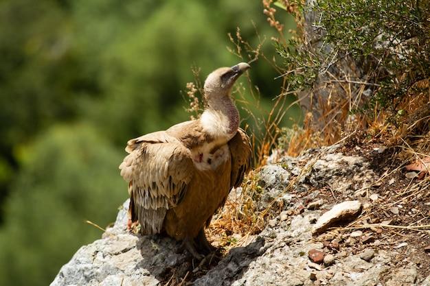 Foco superficial de un buitre leonado (gyps fulvus) de pie en la montaña