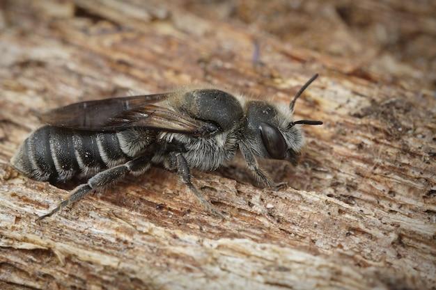Foco superficial de una hembra oligolectic viper's bugloss mason bee en la corteza de un árbol