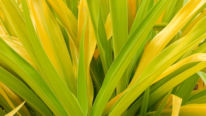 Follaje amarillo verdoso abigarrado. largas hojas de plantas tropicales amarillas verdes abigarradas en el jardín. fondo exótico tropical natural.