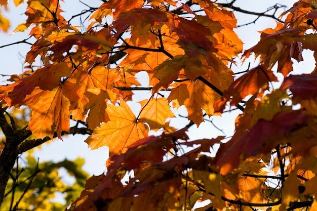 Follaje de arce rojo en la temporada de otoño, naturaleza otoñal real en el día de la tarde