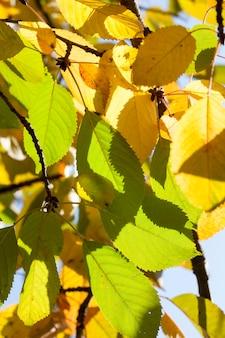 Follaje parcialmente amarillento y verde en el árbol a principios de otoño, clima cálido y soleado, características de la temporada.