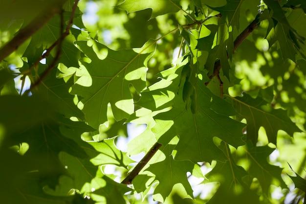 Follaje de roble verde en primavera, detalle de ramas con hojas, roble joven