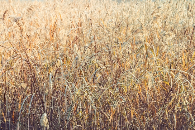 Fondo abstracto pasto seco temprano en la mañana en invierno