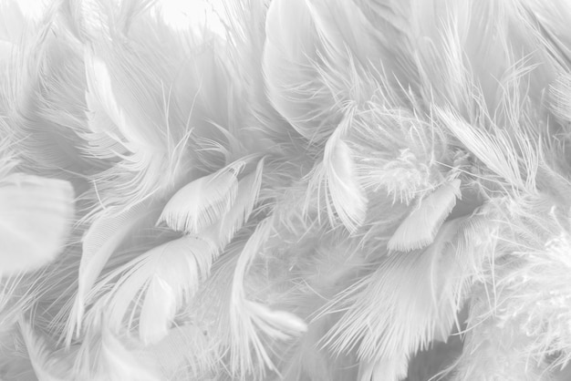Fondo abstracto textura de plumas de aves y pollos