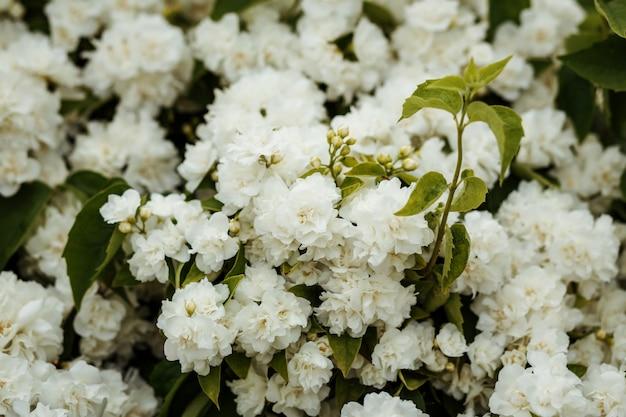 Fondo de arbusto de flores florecientes blancas, papel tapiz.