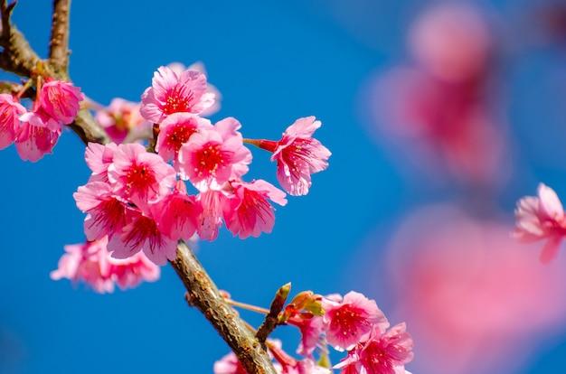 Fondo azul de sakura angkhang chiang mai tailandia