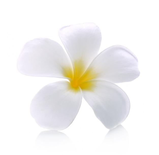 Fondo blanco aislado flor del frangipani