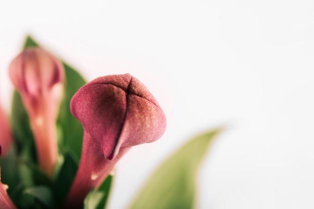 Fondo blanco con hermoso capullo de flor lila