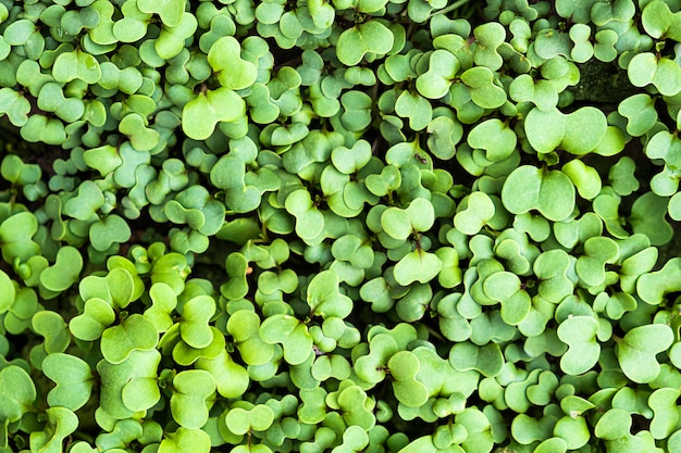 Fondo botánico verde primavera planta trébol fresco