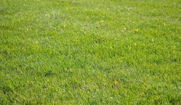 Fondo de césped verde. fondo de naturaleza. textura de hierba verde. alfombra de césped fresca de primavera