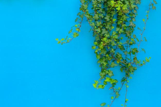 Fondo de color con una planta de selva tropical. fondo azul con hiedra verde en la luz del sol. copia espacio