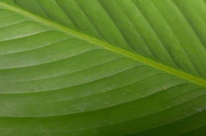 Fondo de hoja de plátano verde