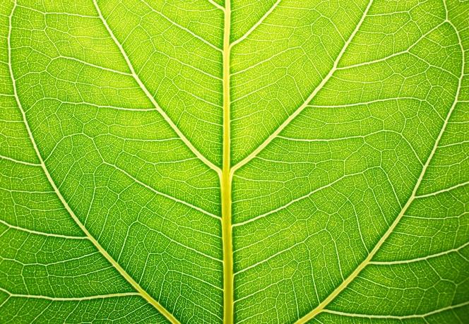 Fondo de hoja verde y textura de hoja verde.