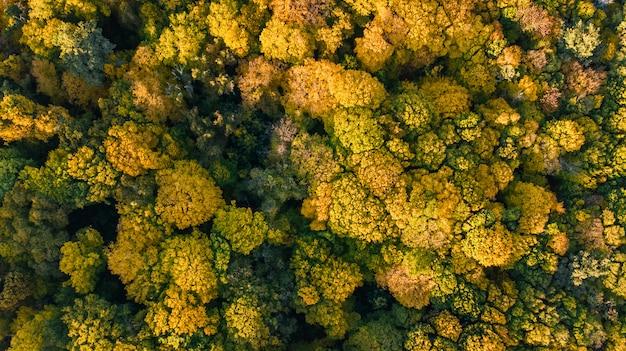 Fondo dorado de otoño, vista aérea del paisaje forestal con árboles amarillos desde arriba