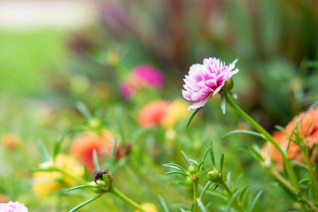 Fondo de flor de verdolaga