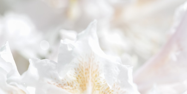 Fondo floral abstracto de enfoque suave pétalos de flores de rododendro blanco flores macro telón de fondo para