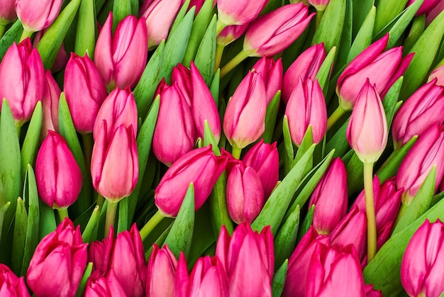 Fondo floral - creciente tulipanes morados