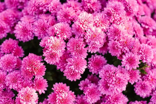 Fondo floral de crisantemos rosados que florece en el jardín de otoño
