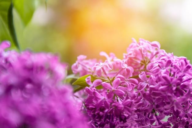 Fondo floral de naturaleza de primavera, flores de color lilas púrpura rosa