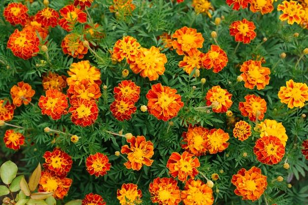 Fondo de flores de caléndulas de flores naranjas en el jardín en verano