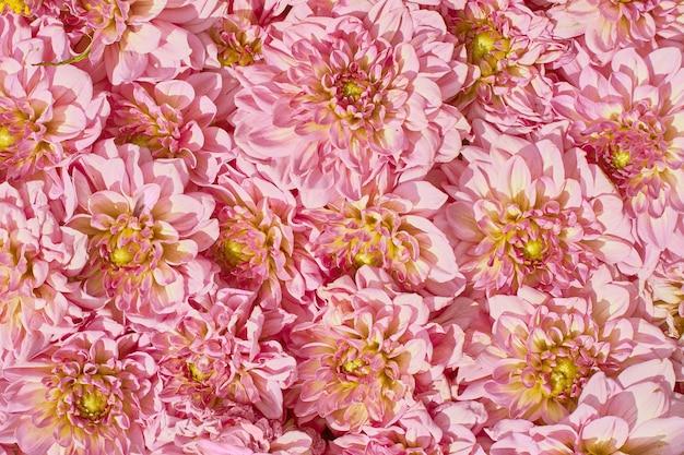 Fondo de flores de color rosa. aster rosa tarjeta de felicitación.