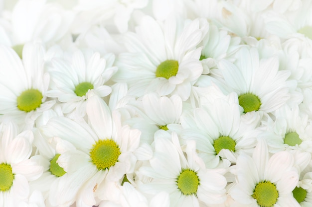 Fondo de flores de crisantemo blanco hermoso