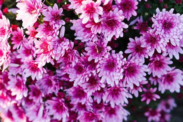 Fondo de flores de crisantemo rosa púrpura en el jardín