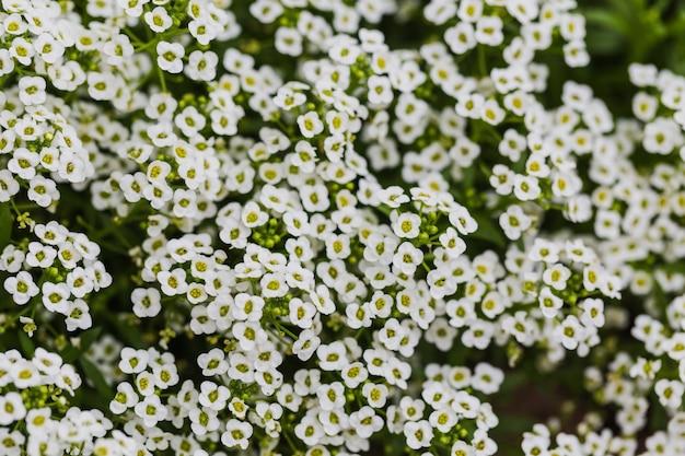 Fondo de flores lindas blancas. hermosas flores blancas en el jardín