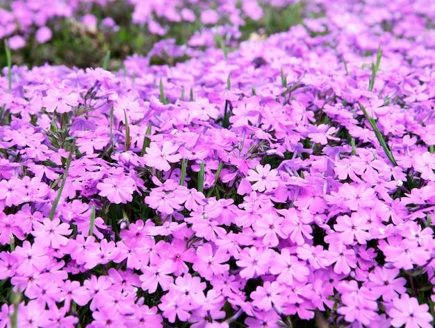 Fondo de flores pink phlox subulata