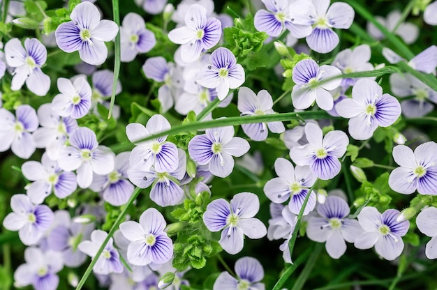 Fondo de flores veronica azules