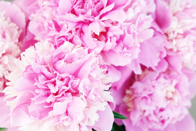 Fondo hermoso de la flor de la peonía rosada. de cerca