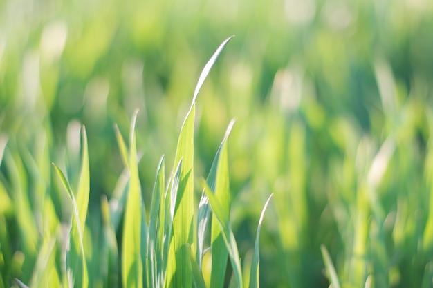 Fondo de hierba verde con enfoque suave
