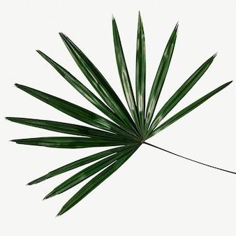Fondo de hoja de palma verde fresca