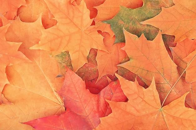 Fondo de hojas de arce otoñal