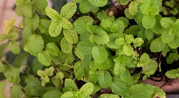 Fondo de hojas de menta verde, la hierba aromática