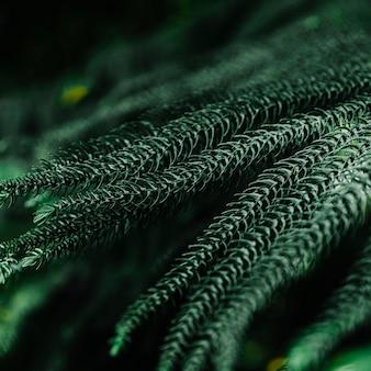 Fondo de hojas de pino recientemente