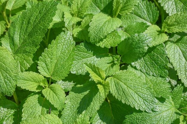 Fondo de hojas verdes de bálsamo de limón