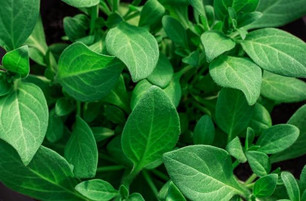 Fondo de hojas verdes, primer plano. plántulas de petunias.