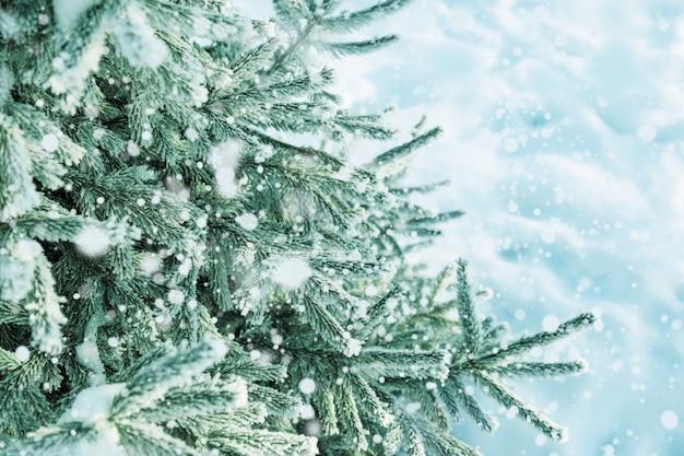 Fondo del invierno con las ramas escarchadas del abeto, nieve que cae.