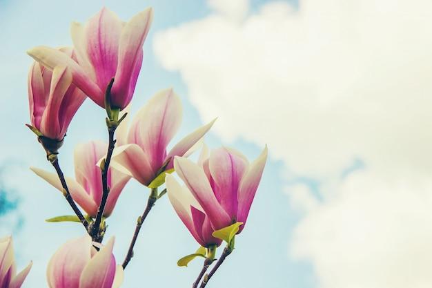 Fondo de magnolias florecientes. las flores enfoque selectivo