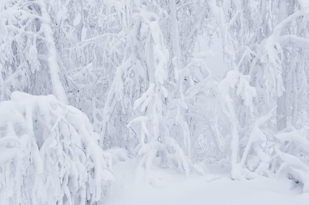 Fondo natural - árboles de un bosque de montaña después de fuertes nevadas