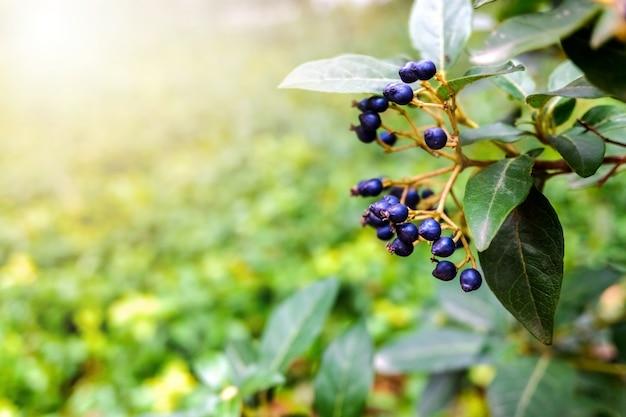 Fondo natural con bayas moradas de otoño