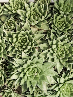Fondo natural cactus o planta suculenta. vista superior