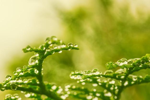 Fondo natural con gotas de rocío en ramas verdes de thuja, baja profundidad de campo