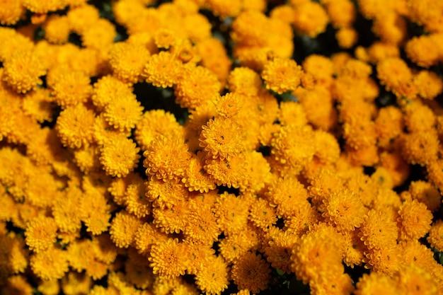 Fondo natural de hermosos crisantemos dorados en flor.