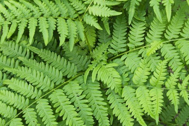 Fondo natural. hojas de helecho verde en el día de verano.