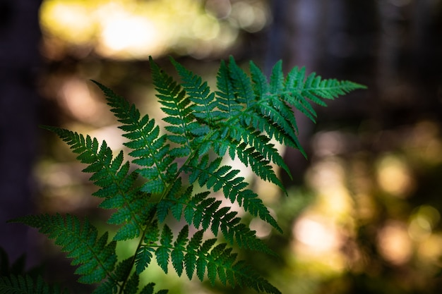 Fondo natural, rama de helecho en el bosque en el fondo del atardecer.