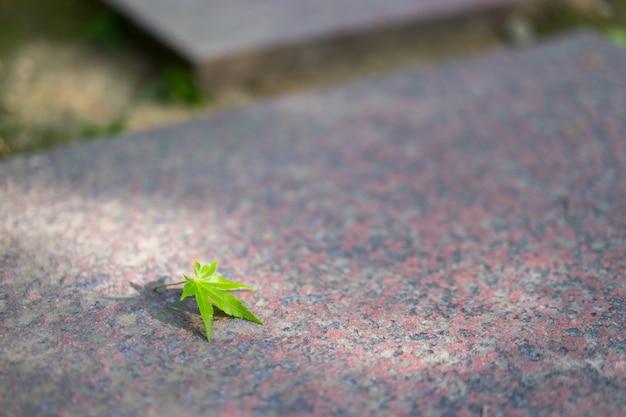 Fondo de la naturaleza de hojas de arce en el pavimento con luz del sol.
