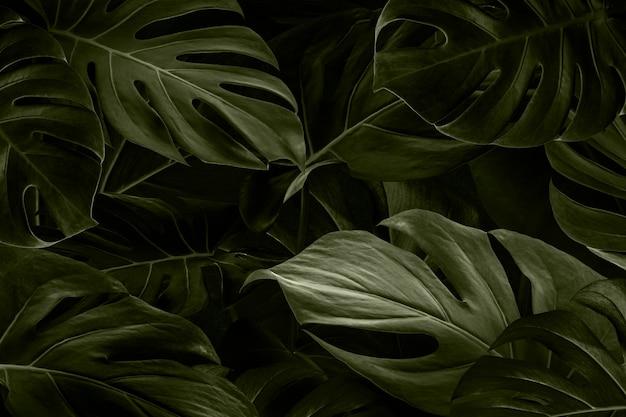Fondo de naturaleza de hojas de monstera